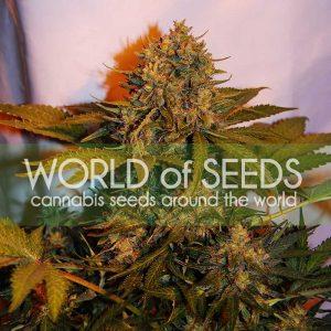World of Seeds Northern Light x Big Bud AUTO female Seeds