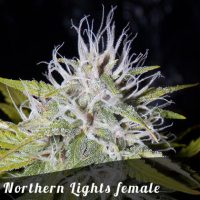 Discount Female Seeds Northern Lights female seeds