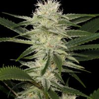 Dinafem Original Amnesia female Seeds