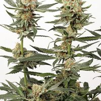 Dutch Passion Ortega Indica female Seeds