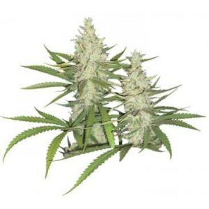 Dutch Passion Outlaw female Seeds