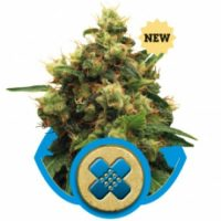 Royal Queen Seeds Painkiller XL female Seeds