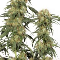 Dutch Passion Pamir Gold female Seeds