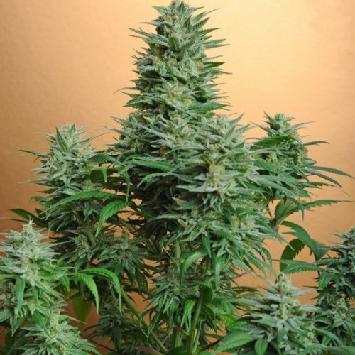 Nirvana Seeds Papaya female Seeds