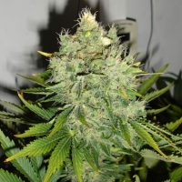 blackskull PEPPERJACK HAZE FEMALE