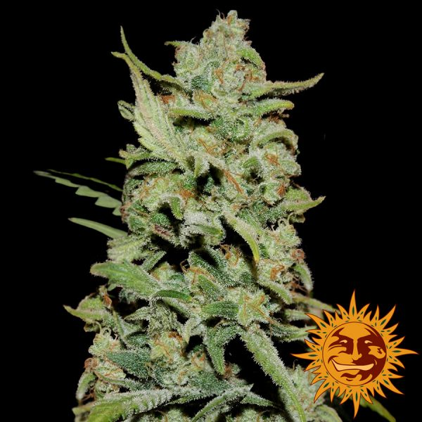 Barney's Farm Peyote critical female seeds