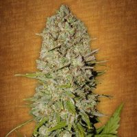 Fast Buds Pineapple Express female seeds
