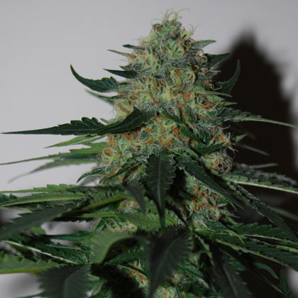 blackskull PINEAPPLE GUM FEMALE