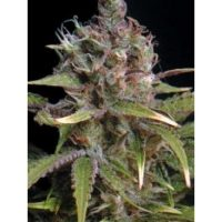 Seedsman Power Africa female Seeds