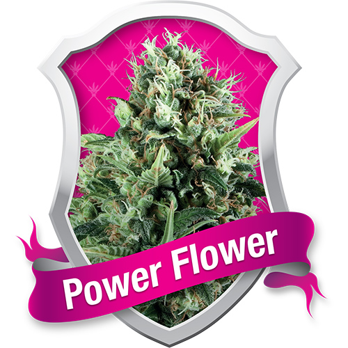 Royal Queen Seeds Power Flower female Seeds