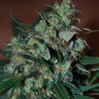 blackskull POWER BUD FEMALE