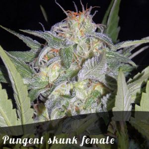 Discount Female Seeds Pungent skunk female seeds