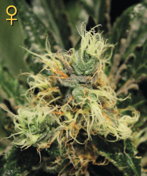 Greenhouse Seed Co. Pure Kush female Seeds