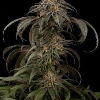Dinafem Purple Afghan Kush female Seeds