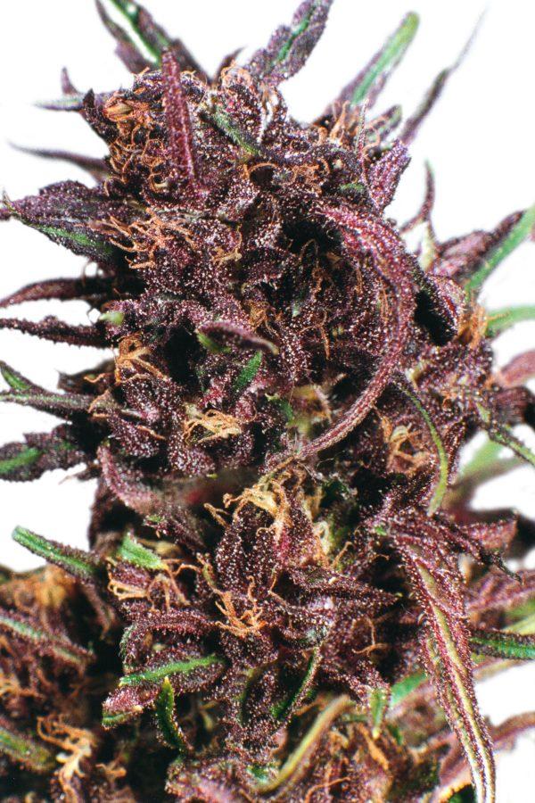 Dutch Passion Purple #1 female Seeds