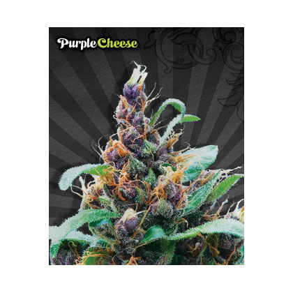 Auto Seeds Purple Cheese