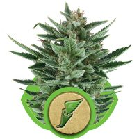 Royal Queen Seeds Quick One Automatic female Seeds