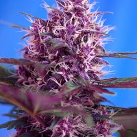 Sweet Seeds Red Poison Auto female Seeds
