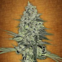 Fast Buds Rhino Ryder female seeds