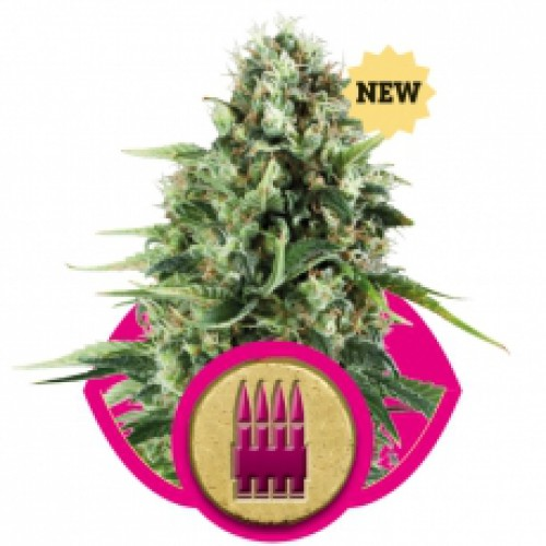 Royal Queen Seeds Royal AK female Seeds
