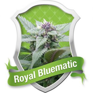 Royal Queen Seeds Royal Bluematic Automatic female Seeds