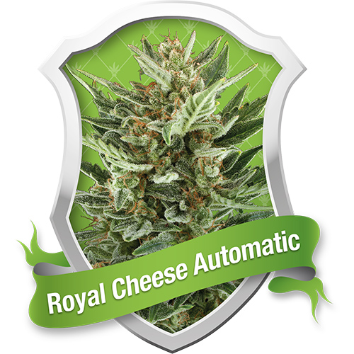 Royal Queen Seeds Royal Cheese Automatic female Seeds