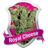 Royal Queen Seeds Royal Cheese female Seeds