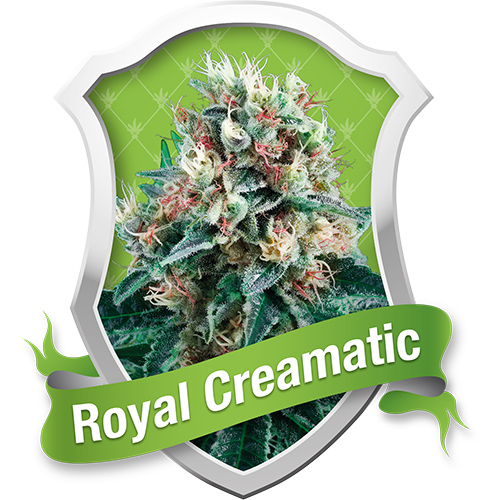 Royal Queen Seeds Royal Creamatic Automatic female Seeds
