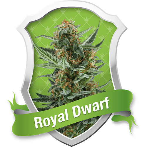 Royal Queen Seeds Royal Dwarf Automatic female Seeds