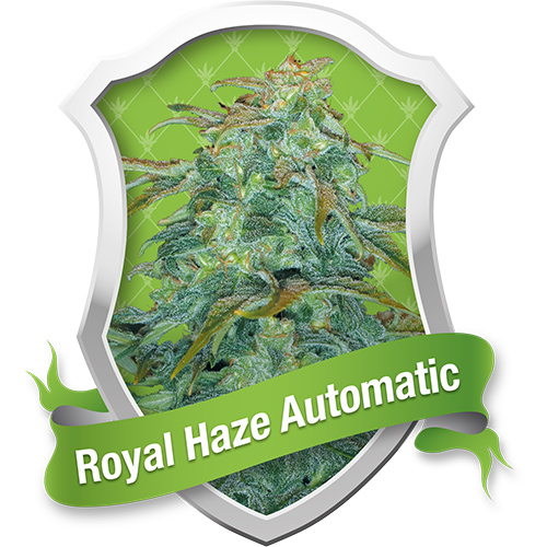 Royal Queen Seeds Royal Haze Automatic female Seeds