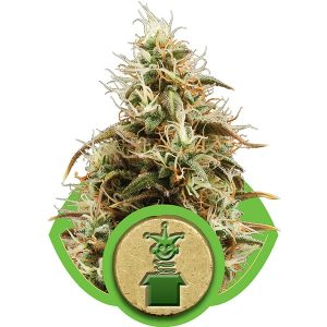 Royal Queen Seeds Jack Herer Automatic female Seeds
