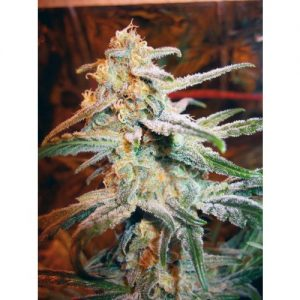 Royal Queen Seeds Blue Mistic female Seeds