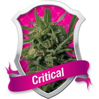 Royal Queen Seeds Critical female Seeds
