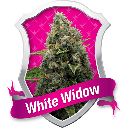Royal Queen Seeds White Widow female Seeds