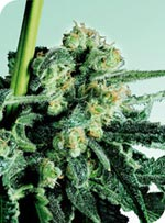 Sensi Seeds Sensi Skunk female Seeds