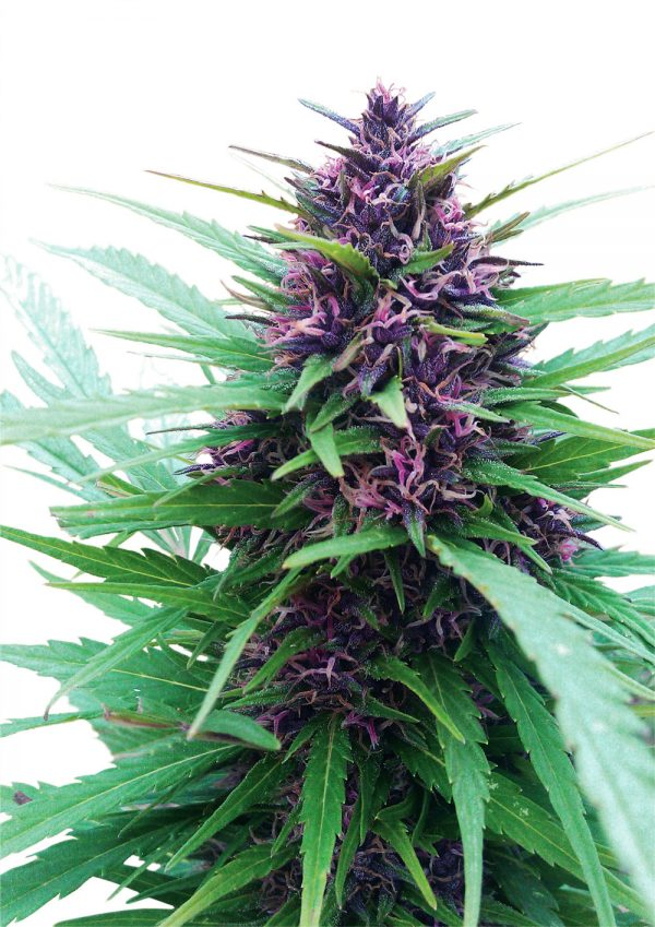 Dutch Passion Shaman female Seeds