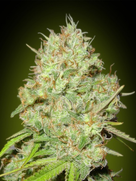 Advanced Seeds Shark Widow female seeds