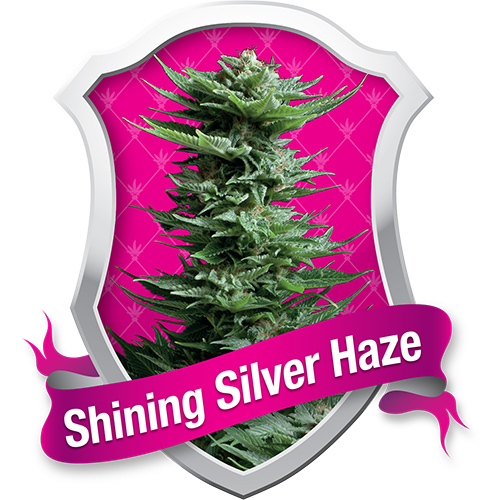 Royal Queen Seeds Shining Silver Haze female Seeds
