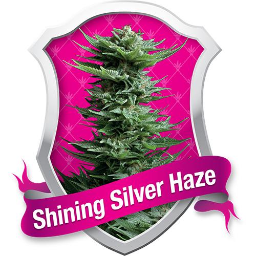 Royal Queen Seeds Shining Silver Haze female Seeds