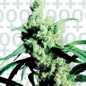 Sensi Seeds Silver Haze #9 female Seeds