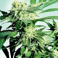 Sensi Seeds Skunk Kush female Seeds