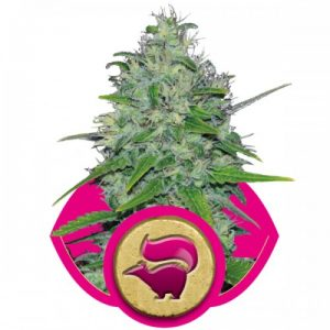 Royal Queen Seeds Skunk XL female Seeds