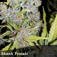 Discount Female Seeds Skunk female seeds