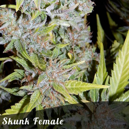 Discount Female Seeds Skunk female seeds