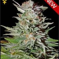 Greenhouse Seed Co. Super Lemon Haze AUTO female Seeds