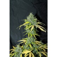 Seedsman Auto Amnesia female Seeds