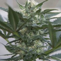 Seedsman Auto Kush female Seeds