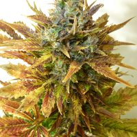 Seedsman Auto Sour Diesel Haze female Seeds