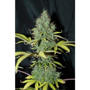 Seedsman Auto Sweet Tooth female Seeds