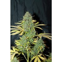 Seedsman Auto White Widow female Seeds